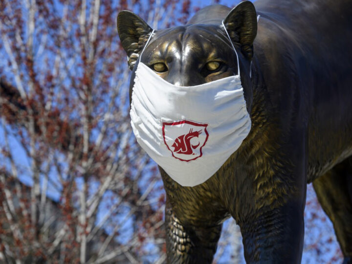 A WSU cougar statue wearing a WSU branded face mask.